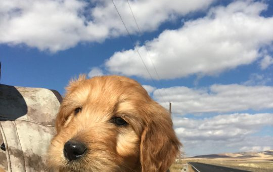Ready for Christmas Female Irish Goldendoodle – Ginger – Available