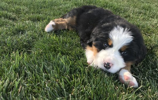Beautiful Large Bernese Mountain Dog Ready For Christmas – Chunk – Available
