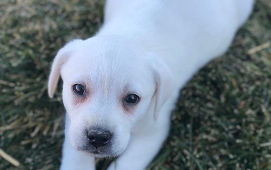 Female White Labrador Retriever – Ivy
