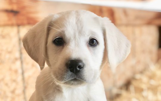 Male White Labrador Retriever – Oliver