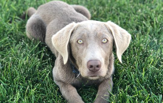Reduced Price – Adorable Male Silver Labrador Retriever – Jax -Reserved