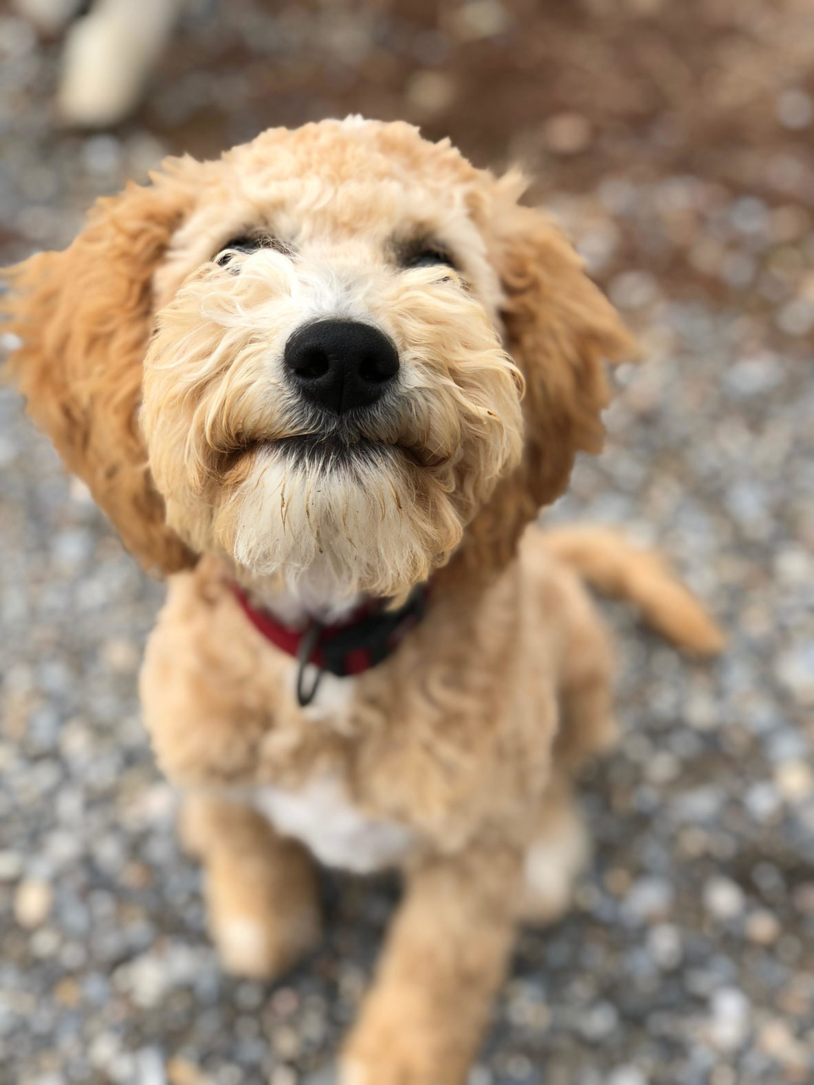 Cutest Male Goldendoodle Puppy Teddy Reserved Puppy