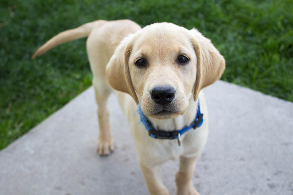 Buy Yellow Lab Puppies For Sale In North Carolina USA