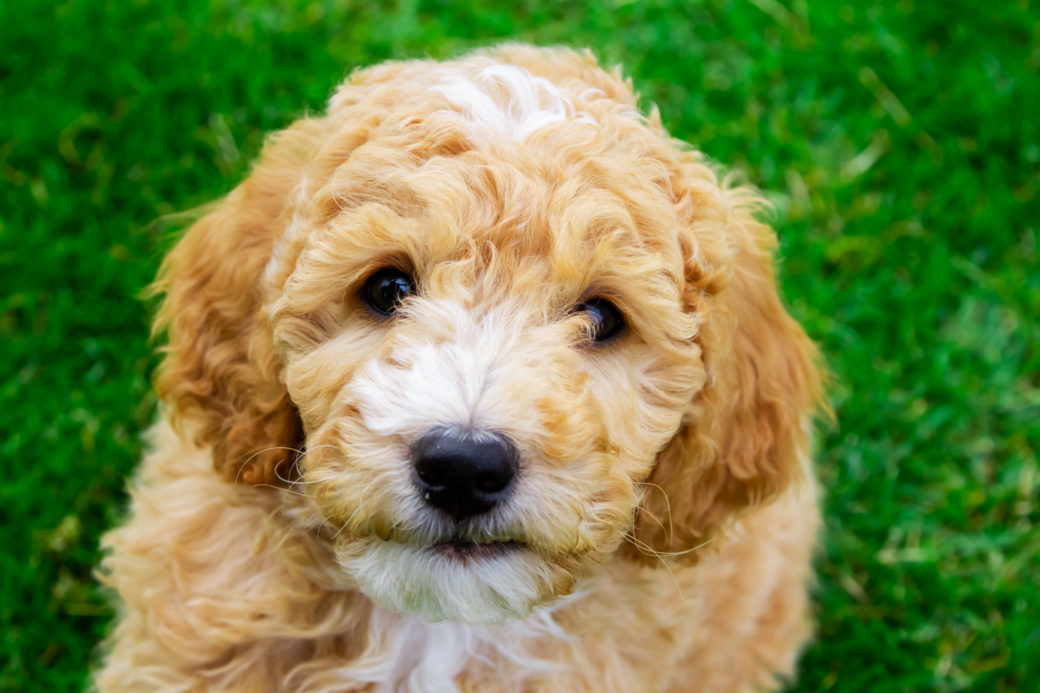 Goldendoodle Puppies Puppy Steps Training