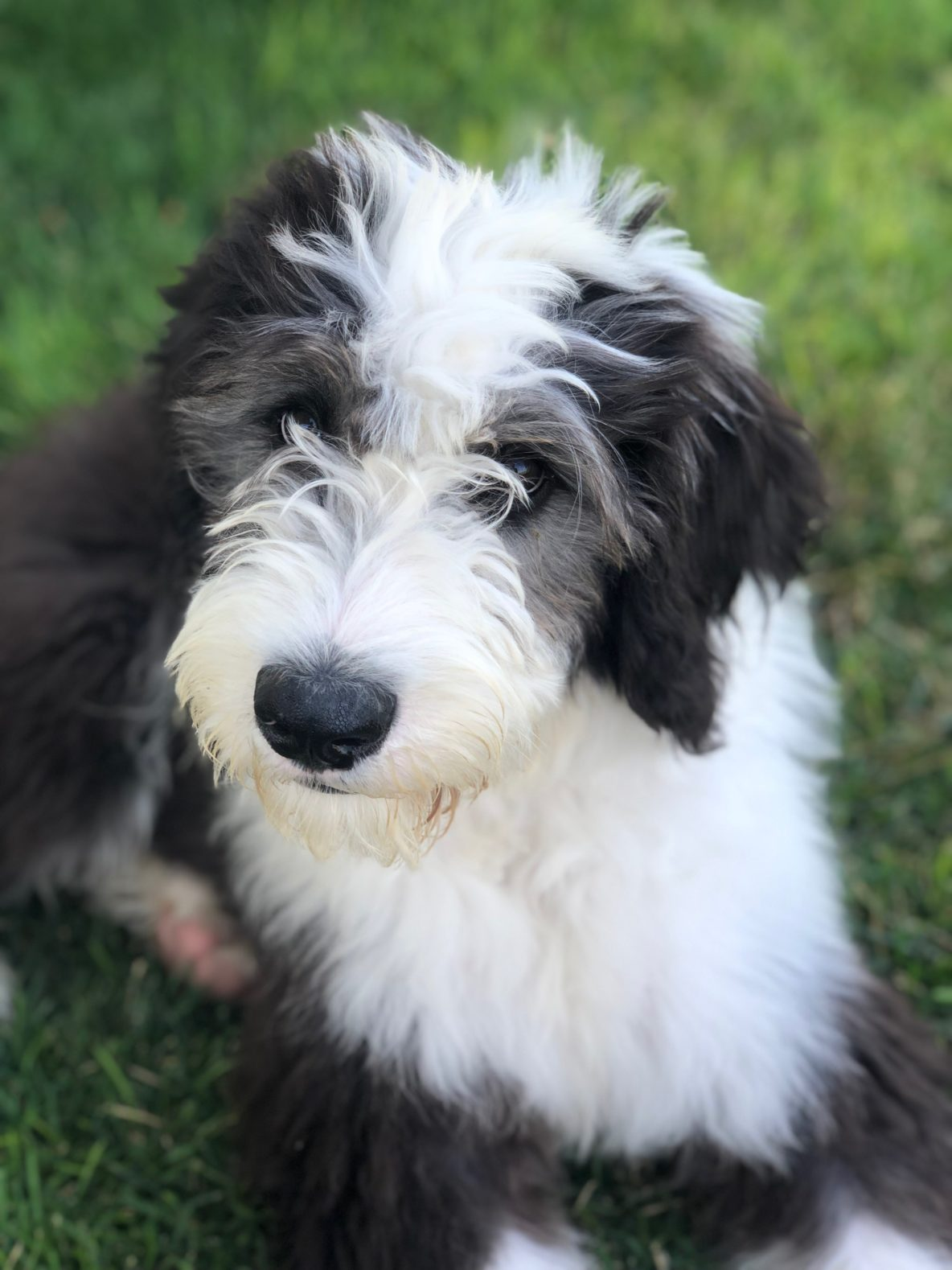 Sheepadoodle Puppy Puppy Steps Training
